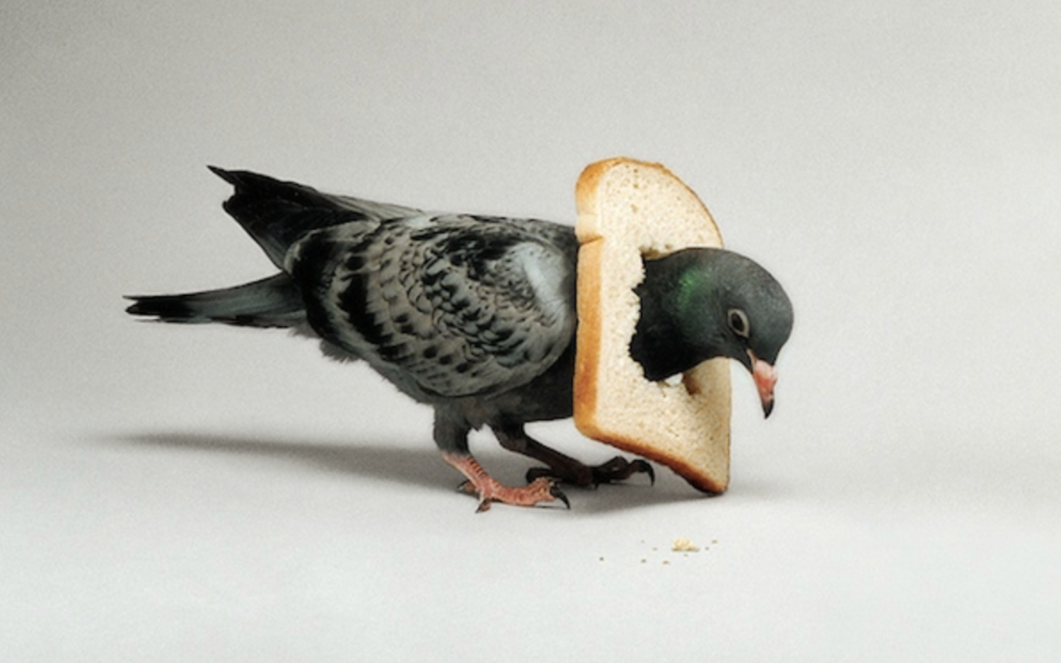 In Bread Pigeon
