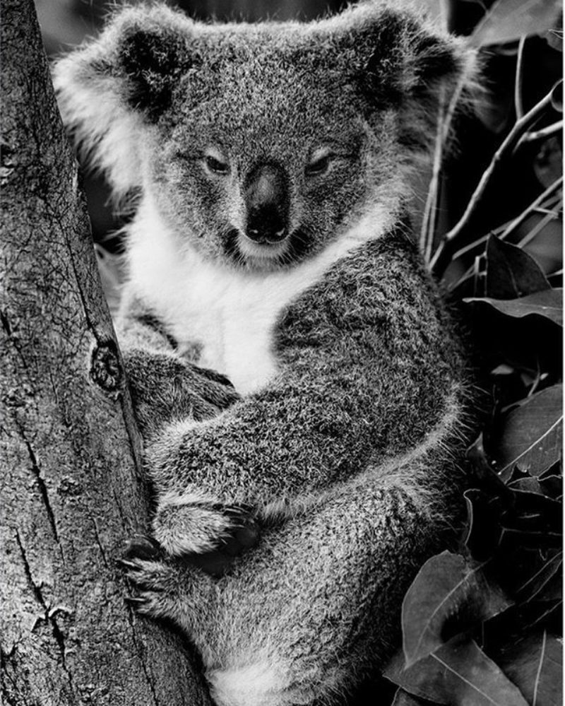 Koala, Sydney, 2016